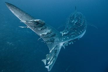 Суфийская история об океанской рыбе.