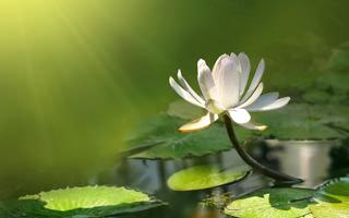 cvetok_lotosa_oboi