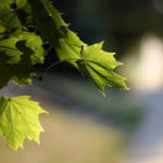 Почему деревья зеленые. Часть II.