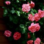 Познай розу, познаешь вселенную. Часть II.