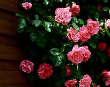 Познай розу, познаешь вселенную. Часть I.